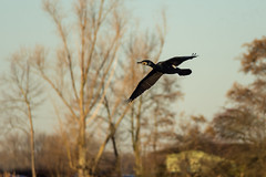 Flight of the Cormorant (colorgraVie) Tags: kormoran nikonafpnikkor70300mmf4556eedvr nikond7200 tier vogel wildlife cormorant animal bird
