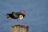 Lapwing doing some good leg stretches (Corine Bliek) Tags: vanellusvanellus bird birds vogel vogels nature natuur wildlife spring waders lente meer lake water
