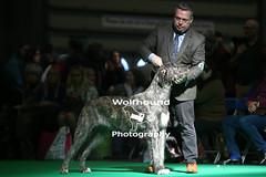 img_8120 (HoundPhotographer) Tags: irishwolfhound wolfhound hound crufts crufts2019 showdog dogshow