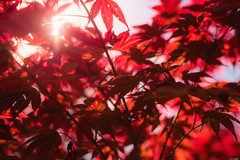 Red leaves (Rico the noob) Tags: dof leaves d850 plant closeup rueckersdorf nature 58mmf14 germany sky outdoor 58mm published bokeh sun