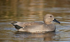 Gadwall (PhotoLoonie) Tags: gadwall duck waterbird bird nature wildlife