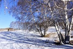 Tree lines (MelindaChan ^..^) Tags: innermongolia bashang china 內蒙古 壩上 trees line plant snow snowscape nature chanmelmel mel melinda melindachan