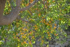 Abricotier dans le village de Passu © Bernard Grua (Photos de voyages, d'expéditions et de reportages) Tags: abricotier abricot tupodan passucones glacier karakoram montagne hunza gojal bernardgrua passu gilgitbaltistan pakistan