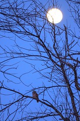 Barred owl enjoying the glorious full moon (Gary Xi) Tags: night d850 nikon fullmoon nature raptor tree trees moon wildlife bird owl barredowl