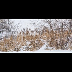The marsh of Faversham Lake covered in snow.  ~ ~ ~ ~ ~  Taken on 3-3-19, at #FavershamPark in #Westminster, #Colorado. #CanonRebelT5 #Canon #Rebel #T5 F/11 120mm 1/100s ISO-330 #marsh #FavershamLake #snow #oooShiny #oooShinyPhotography #reedsandrushes #r (oooshinyphotography) Tags: westminster favershamlake snowyday canonrebelt5 naturephotography snowday coloradoshared coloradotography canon oooshiny reeds landscapephotography colorado marsh snowy snowphotography t5 coloradolove rebel nature coloradocreative favershampark reedsandrushes coloradophotography oooshinyphotography viewcolorado coloradophotographer snow coloradocollective landscape