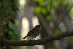 Brown Scrub-robin, Kurisa Moya, Magoebaskloof, Limpopo, Dec 2018 (roelofvdb) Tags: 2019 616 brownscrubrobin date december kurisamoya limpopo magoebaskloof place robin robinbrownscrub southernafricanbirds year