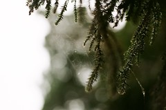 000715430034 (Nai.) Tags: pine tree nature green bokeh lights pentaxmz3 fujiindustrial100 富士業務用100 analogphotography filmphotography 135film 35mmfilm pentaxsmcf50mm17 closeup