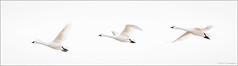 Tundra Swans (hey its k) Tags: 2019 aylmer aylmerwildlifemanagementarea birds canon5dmarkiv nature swans tundraswans wildlife malahide ontario canada ca imga2111e