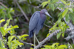 (out_look) Tags: nikon d850 200500mm f56 everglades small blue heron imagetrek