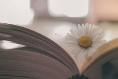Daisy (pierfrancescacasadio) Tags: marzo2019 17032019img8852 daisy spring springiscoming margherita 24mm rosa pink book libro macro