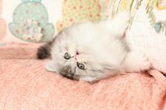 Persian Kitten (dollfacepersiankittens.com) Tags: persian kittens for sale doll face bicolor kitten cat catsofinstagram cats cutekittenpictures cutecatpictures cutekittens cutecats
