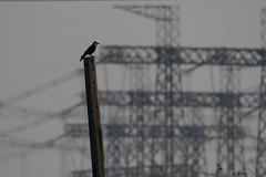 Crow and Pilons (iamfisheye) Tags: february 300mm vr naturetrek nikon f4 india d500 fulayvillage xqd afs tc14iii pf greatrannofkutch 2019 raremammalsandbirdsofgujarat gujarat