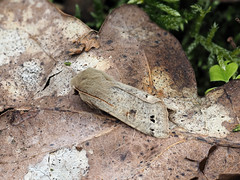 Twin-spotted Quaker Anorthoa munda (Clive E Jones) Tags: nature maeshafn moths moel findeg denbighshire north wales mothtrapping twinspotted quaker anorthoa munda
