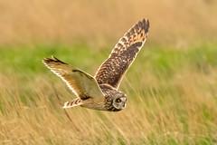 Owl series #5 (Trev Green) Tags: nikon sigma wirral owl bird d500 parkgate