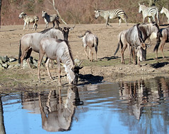 wildebeast Burgerszoo 094A0562 (j.a.kok) Tags: animal africa afrika antilope wildebeast gnoe gnu mammal zoogdier dier herbivore burgerszoo burgerzoo