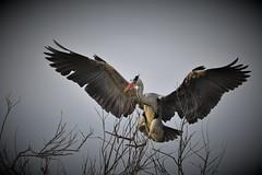 héron cendré (Bernard Fabbro) Tags: héron cendré grey heron