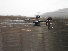 Wood Ducks (RonG58) Tags: woodducks wilsonstream ducks northmonmouth wilsonstreamreservoir bird birds loiseau elpájaro tori dervogel birding birdwalk fauna flora habitat migration natureexploration wildlife waterbirds breedingplumage maine rong58 new usa images pictures photooftheday day image color photography photo photos us light trip nikon picture digitalcamera picoftheday photograph live geotagged nature naturephotography travel exploration spring