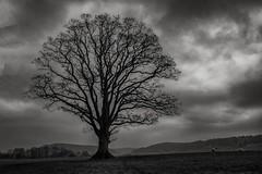 Goodrich Tree (Evoljo) Tags: tree goodrichcastle herefordshire blackwhite sheep sky cloud nikon d500