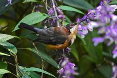 Eastern Spinebill (Rodger1943) Tags: honeyeaters easternspinebill australianbirds sonyrx10m4