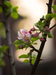 The first blossoms on my apple tree at sunrise - Spring 2019 (Wilma v H- running behind a bit Sorry!) Tags: appletree appelboom appleblossoms blossoms bloesems pinkflowers flowers apples sunrise closeup fruit plants trees fruitbomen backlit backlight canoneos60d canon100mm28f luminositymasks tkactionsv6panel dawn crackofdawn gardens springscenics spring springflowers spring2019 dordrecht nederland netherlands 2019 macro