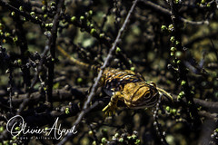 _IO_8241-MAir1 (oalard) Tags: australia australie reptile desert westernaustralia geckos