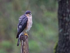 06 04 2019 (cathyk31) Tags: oiseau epervierdeurope accipiternisus accipitridés accipitriformes eurasiansparrowhawk bird