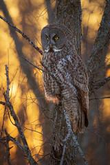 Great Grey Owl at sunset (dwb838) Tags: tree backlit greatgreyowl