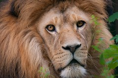 Lion / Löwe (Burnett0305) Tags: afsnikkor200–500mm156eedvr animal bavaria bayern carnivora felidae feloidea germany groskatzen katze katzen katzenartige lion löwe mammalia nikon nikond300 pantheraleo raubtiere stadtstraubing säugetiere tier tiere animals