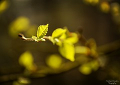 In Spring every New Leaf is like a Flower (barbara_donders) Tags: natuur nature spring lente blaadjes leaves sunlight zonlicht green groen bos forest branch tak mooi prachtig beautiful magisch magical
