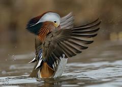 Mandarin Duck. (Estrada77) Tags: mandarinduck ducks rarebird asianduck wildlife winter2018 jan2019 outdoors water colorful illinois nikon nikond500200500mm nature animals