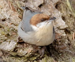 Brown Headed Nuthatch (tresed47) Tags: 2019 201901jan 20190114marylandbirdsbb birds blackwaternwr brownheadednuthatch canon7dmkii content folder january maryland nuthatch peterscamera petersphotos places season takenby us winter