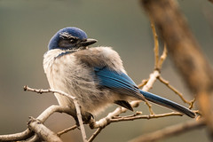 California Scrub-Jay (Aphelocoma californica) (Brown Acres Mark) Tags: californiascrubjay aphelocomacalifornica emigrantlake jacksoncounty oregon usa markheatherington
