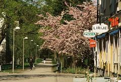 Japanskt körsbärsträd, hörnet av Lagaplan