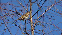 Redwing (3/4) : my winter visitors (2019) (Franck Zumella) Tags: redwing red wing bird oiseau rouge rousse grive mauvis visitor visiteur hiver winter blue sky ciel bleu tree arbre nature wildlife animal thrush