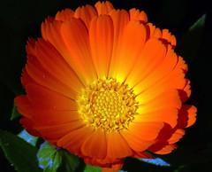 P1010031AC (learning.photography) Tags: calendulaflower chailhimachalpradeshindia potmarigold familyasteraceae marigold