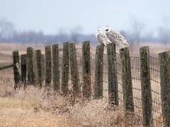 did you hear the groundhog laugh? (marianna armata) Tags: fence friday two owls sitting laughing amherstisland ontario mariannaamata