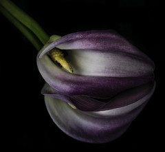 Reflecting On A Purple And White Calla Lily (Bill Gracey 22 Million Views) Tags: mirror reflection callalily callalilien fleur flower flor offcameraflash yongnuo yongnuorf603n homestudio blackbackground sidelighting softbox macrolens floralphotography