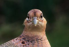 Grumpy Face Pheasant..x (Lisa@Lethen) Tags: pheasant female nature bird garden face wildlife wild eyes