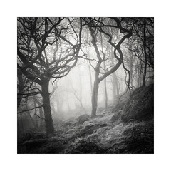 Coming Through (gerainte1) Tags: hasselblad501 pancro400 film blackandwhite trees guisecliffe mist winter woodland yorkshire