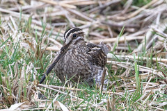 Snipe (Dougie Edmond) Tags: bird water wader nature wildlife