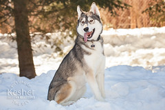 Picture of the Day (Keshet Kennels & Rescue) Tags: adoption dog ottawa ontario canada keshet large breed dogs animal animals pet pets field nature photography siberian husky thaw snow winter sunshine happy trees
