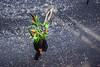 125-Confetti fleur (Alain COSTE) Tags: bordeaux carnaval coursvictorhugo déguisement lesgens parkingvictorhugo pointdevue procession confetti défilé hauteur rue gironde france fr