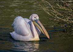 Eastern white pelican (Mibby23) Tags: eastern white pelican pelecanus onocrotalus bird wildlife nature whipsnade zoo canon 5dmk4 sigma 150600mm