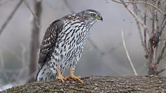 Autour des palombes_070A5395v2 (d.jauvin) Tags: épervier autour québec autourdespalombes northerngoshawk accipitergentilis