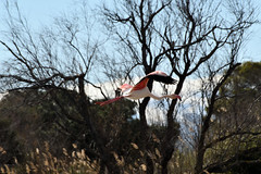 pont de Gau (philjacq77) Tags: philjacq nikon oiseau bird pontdegau camargue nature etang flamandrose parcornithologique flamingo