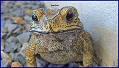 beauty is in the 'eye' of the beholder (20)... (Jinky Dabon) Tags: fujifilmfinepixhs35exr bufonidae toad wartyskin toads amphibians amphibian wwwtescom httpswwwtescomteachingresourceamphibiansthemedpack11514840 macro animal animals