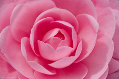 camellia 15/100x 2019 (sure2talk) Tags: camellia pink macro closeup nikond7000 nikkor85mmf35gafsedvrmicro 100xthe2019edition 100x2019 image15100 15100x2019 artgrowninnature