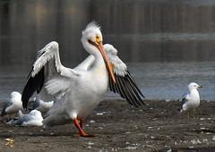 American White Pelican In Breeding Condition (Vidterry) Tags: pelican americanwhitepelican breedingplumage cedarlake nikond500 tamron150600mm 600mm 14000thf11