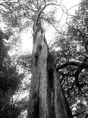 Twisted Cypress (Melinda * Young) Tags: monochrome blackandwhite tree cypress thursdaymonochrome campus uc berkeley baldcypress trunk twisted up