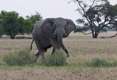 """African Elephant """"Kalahari Cruising"""" (girlslens) Tags: africanelephant elephant"""
